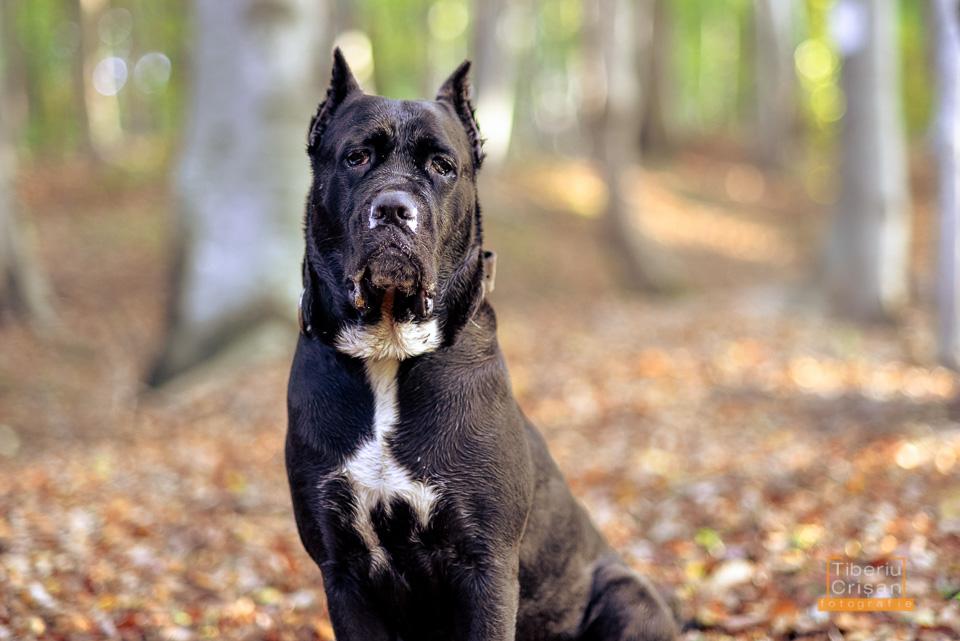 Masha cane corso la padure cu muci